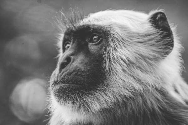 mininalista minimalismo black and white monkey blanco y negro mono chimp